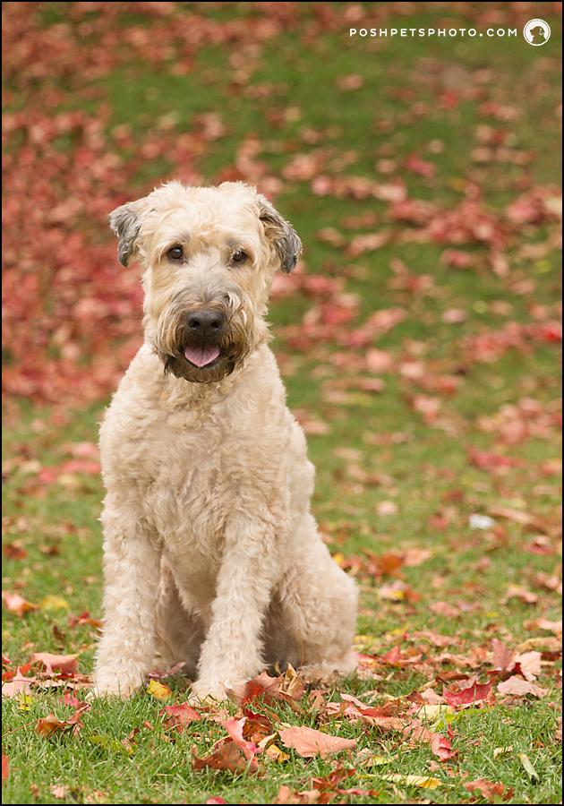 wheaten terrier portrait in Canada