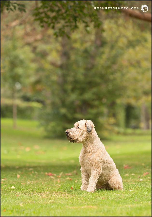 profile photograph of wheaten terrier