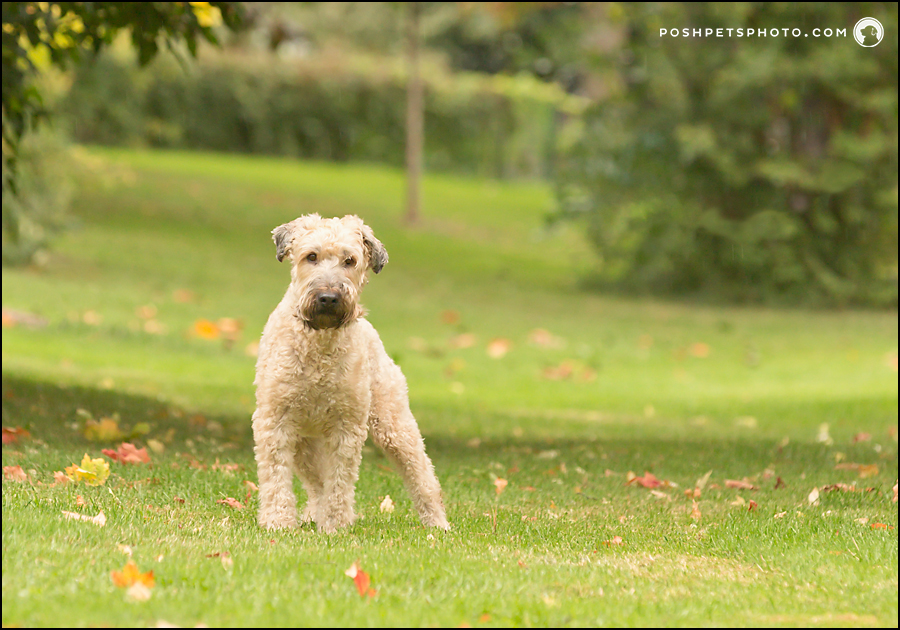 wheaten terrier dog with leg extended
