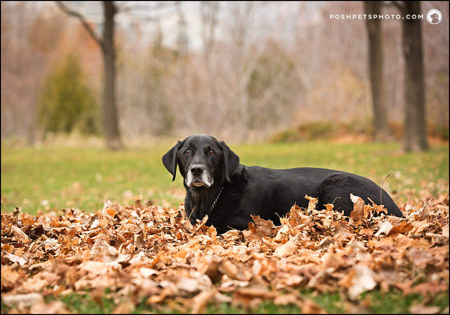 black labrador sitting in a pile of leaves