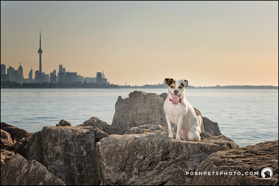 dog on rock in front of Toronto skyline