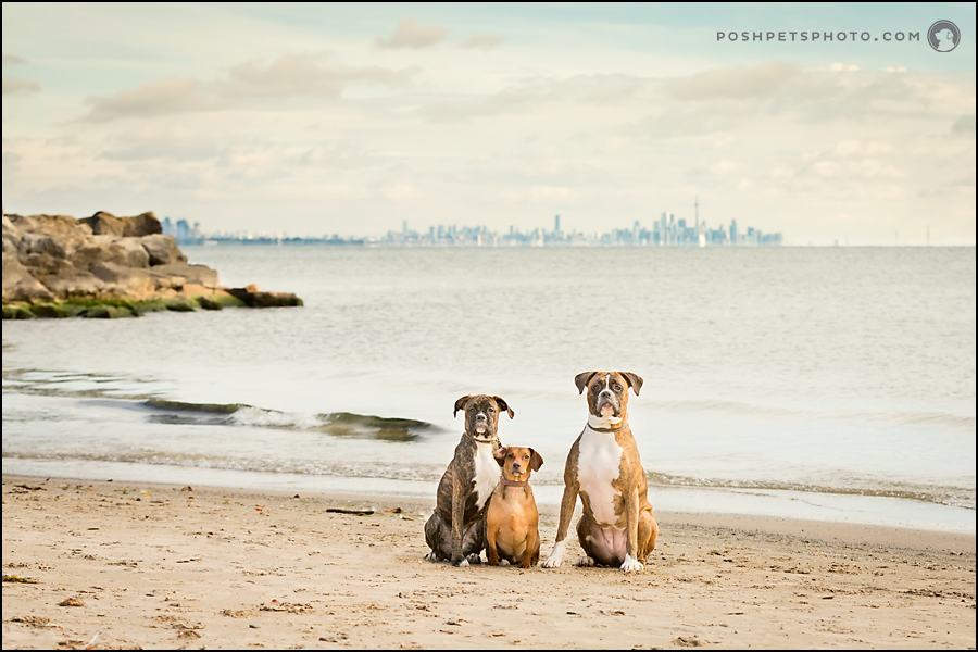 Dogs portrait with lake ontario and Toronto skyline