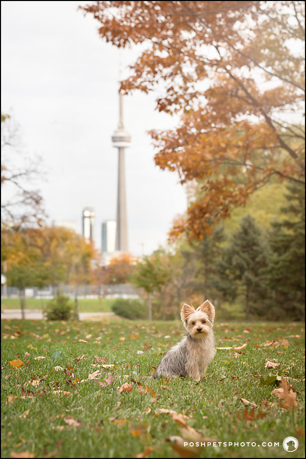 Dog with CN Tower