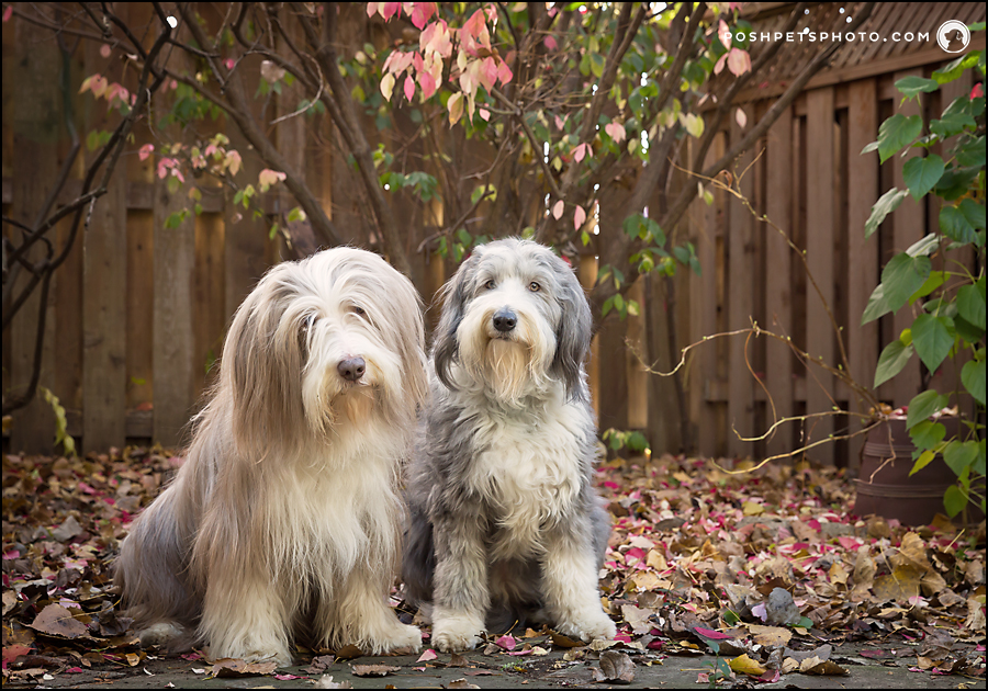 two bearded collies with fall leaves