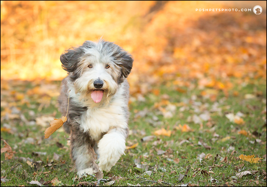 bearded collie dog running
