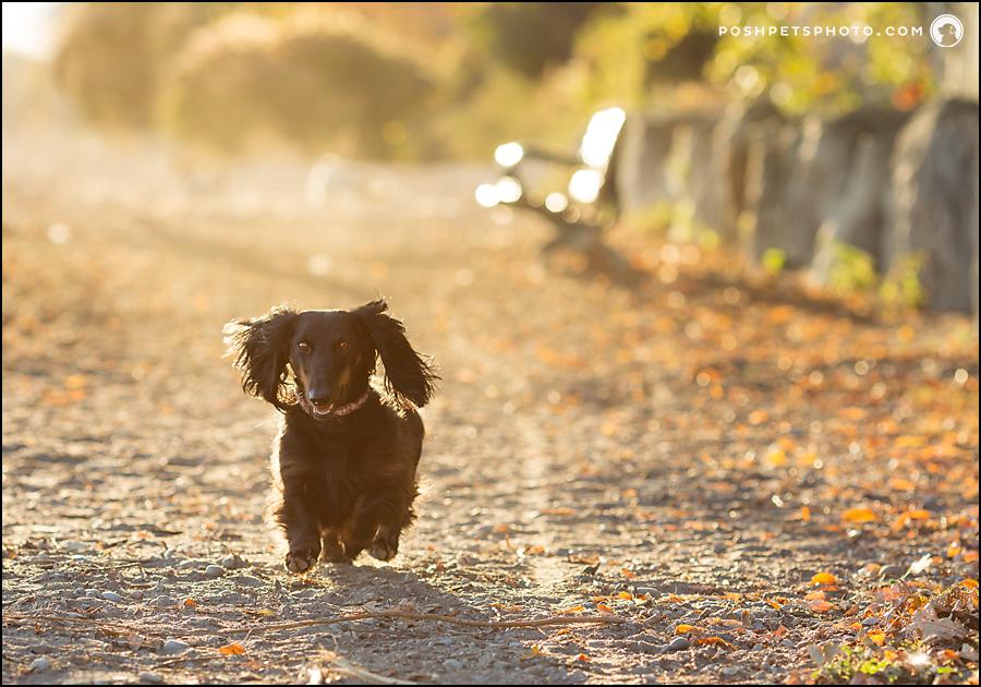 dachshund running on beach in Toronto