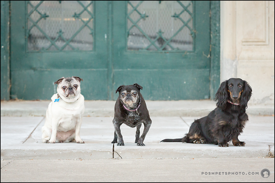 A Session With a Little Trio of Dogs in Downtown Toronto.