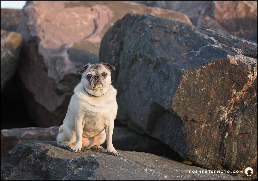 southern ontario pug portrait photographer