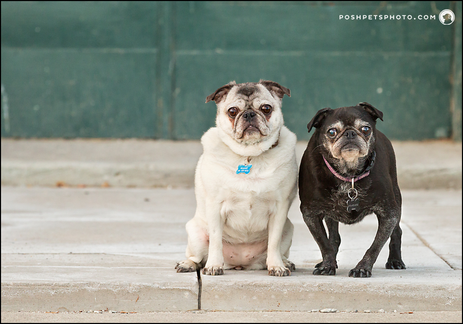 two pugs on a porch