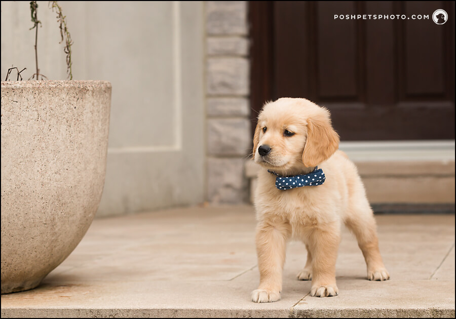 Puppy photography in Thornhill, Ontario, Canada.