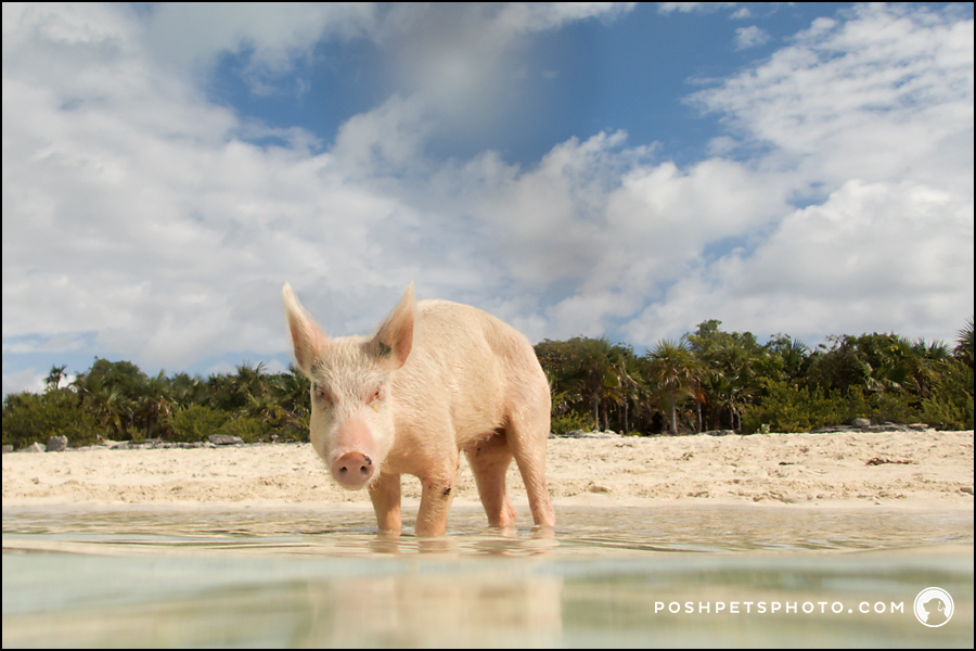 pig portrait on pig beach the bahamas