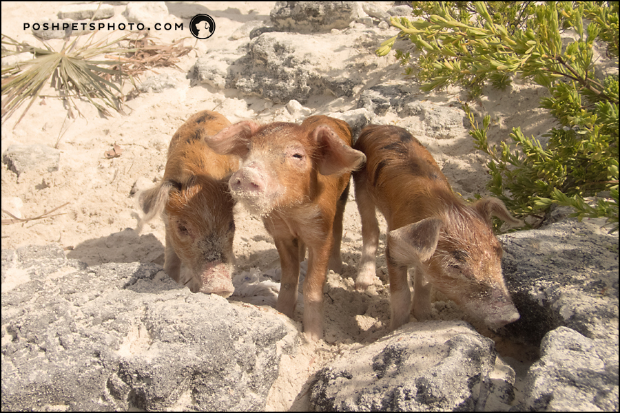 3 little piglets on pig beach, bahamas
