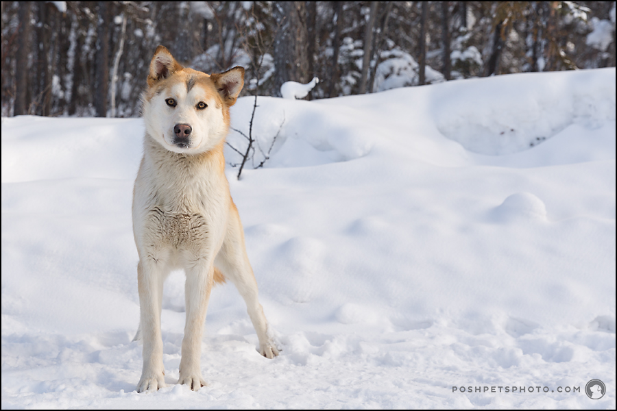 beautiful canadian arctic dog