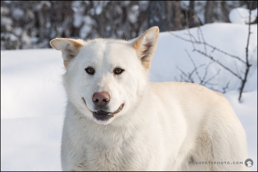 smiling white dog