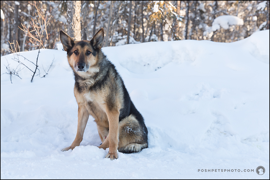 sitting german shepherd in snow
