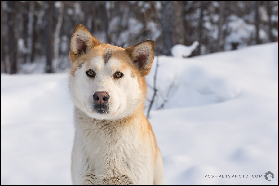 canadian arctic dog photographer