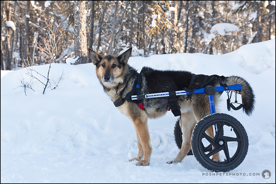 german shepherd with wheelchair
