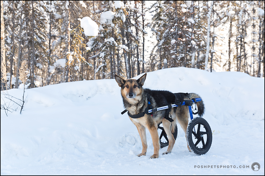 disabled dog portrait in snow