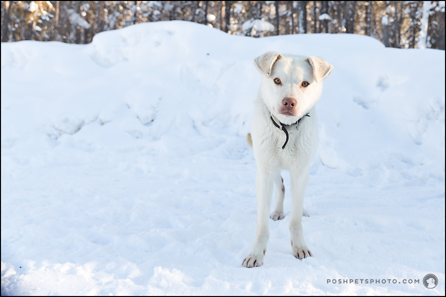 white dog in Canada arctic