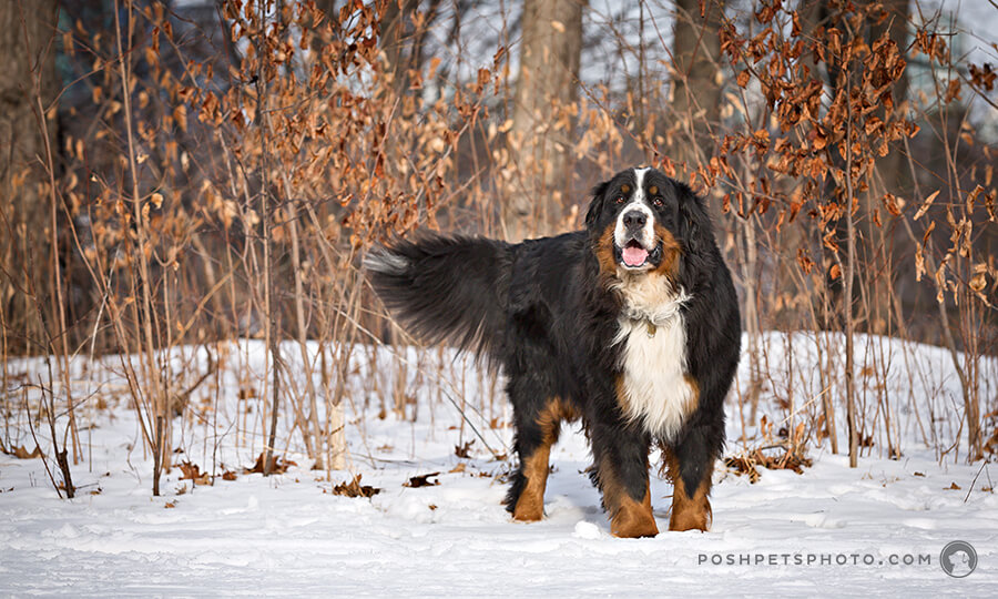 fine art portrait of bernese mountain dog