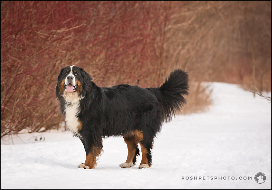 bernese mountain dog portrait toronto
