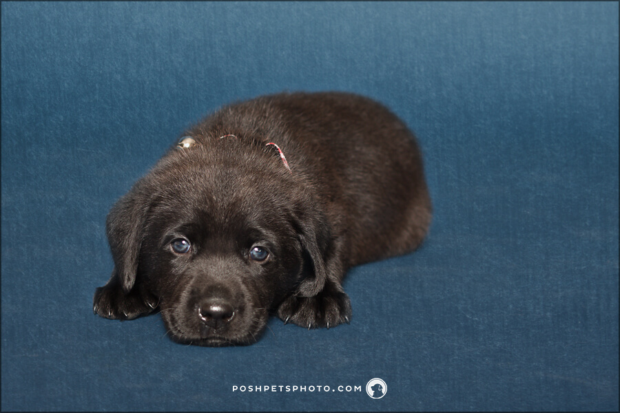 black lab puppy on blue