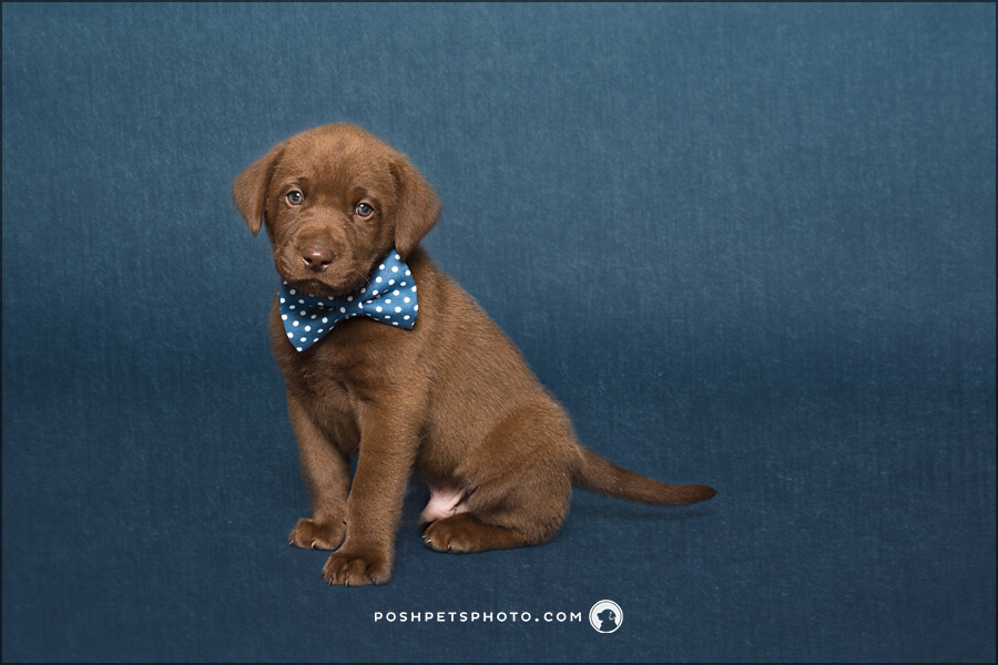chocolate brown puppy with blue bowtie