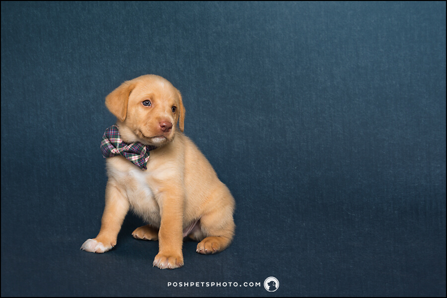 yellow lab with plaid bowtie