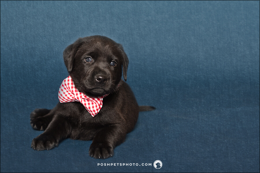 black lab puppy with red polka dot tie