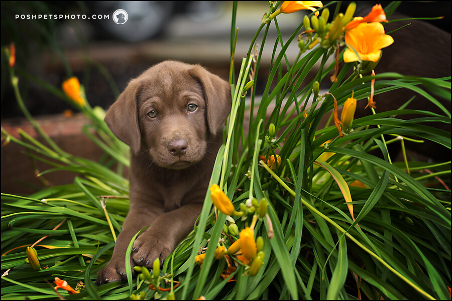 chocolate lab puppy posing with flowers