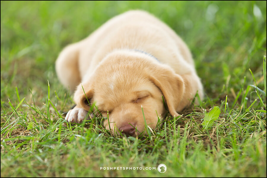 yellow lab puppy sleeping in grass