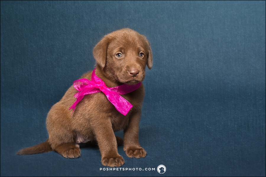 chocolate lab puppy with pink bow