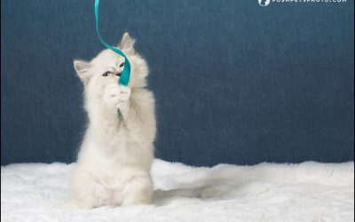 Mochi – An 'Engaged' Kitten | Posh Pets Studio™