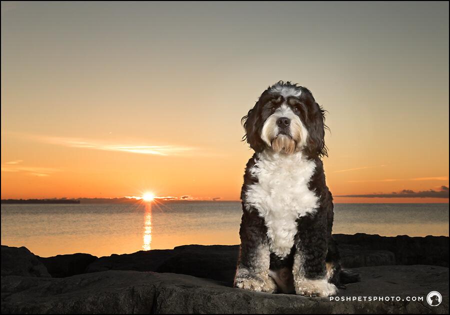 Bernedoodle at Sunrise