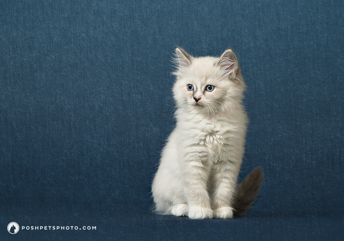 Toronto's premier pet photographer with portrait of ragdoll kitten