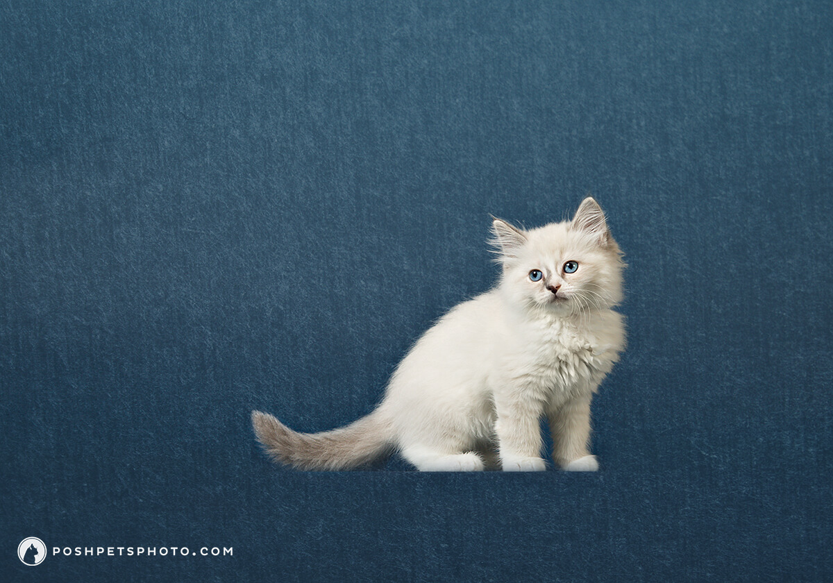 Contemporary pet portrait photography by Posh Pets Photography
