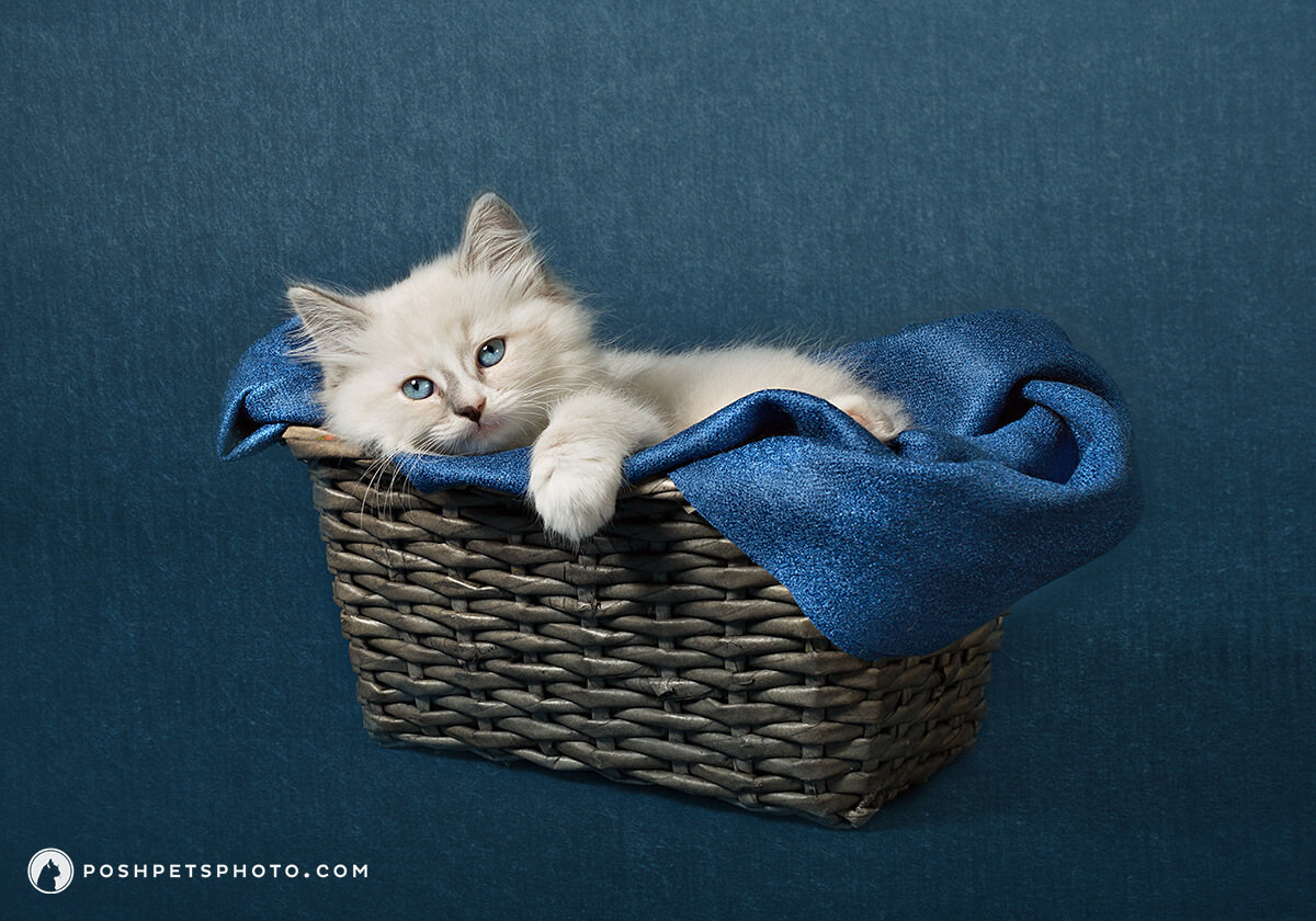 beautiful kitten newborn photography in Toronto
