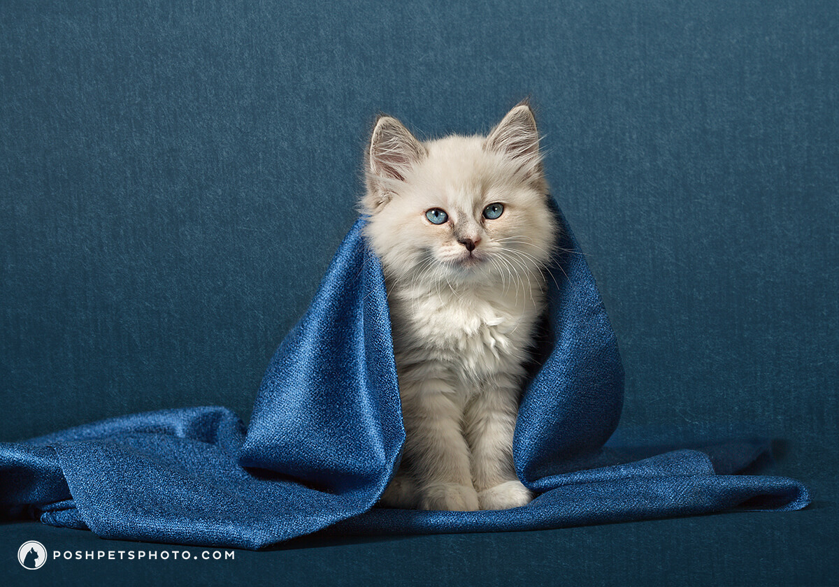 ragdoll kitten portrait with shawl