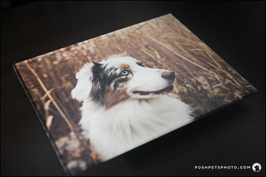 Australian shepherd on magnificent acrylic wall art piece by Posh Pets Photography.