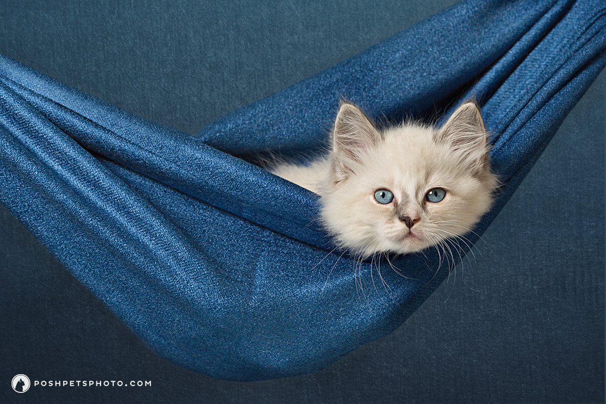 kitten newborn photography by Posh Pets Photography in Toronto, Canada