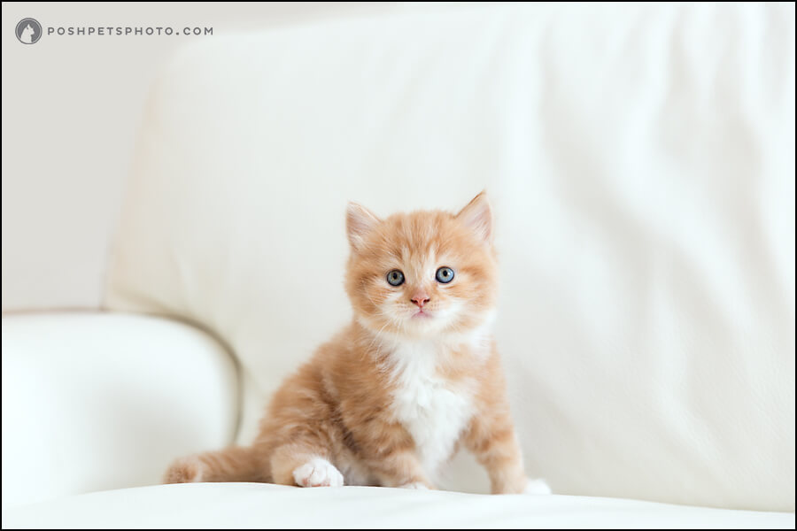 Kitten model commercial photography