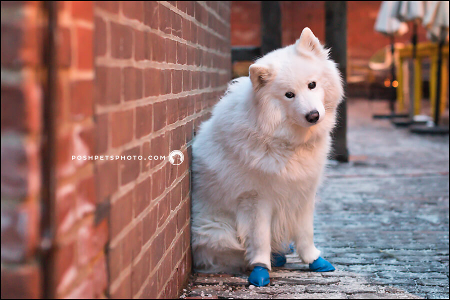 dog photographer GTA samoyed