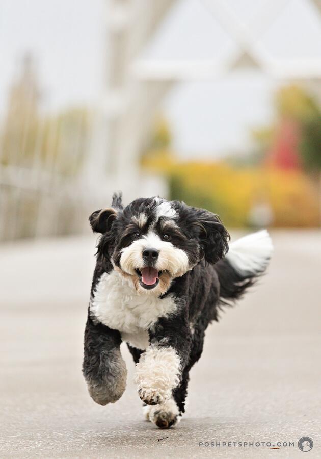 happy running dog on bridge in Toronto, Canada