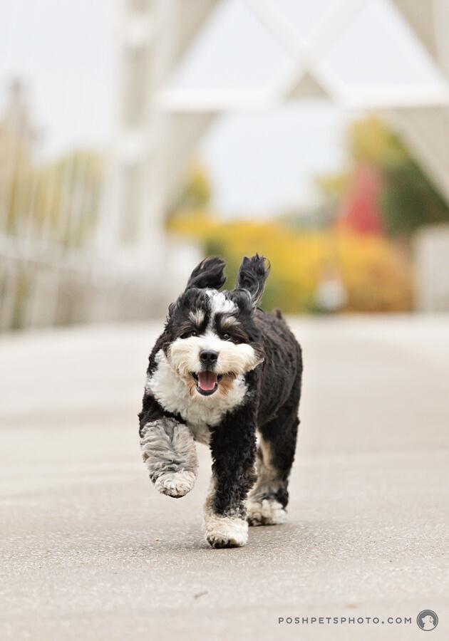 bernedoodle dog running on humber bridge in Toronto, Canada