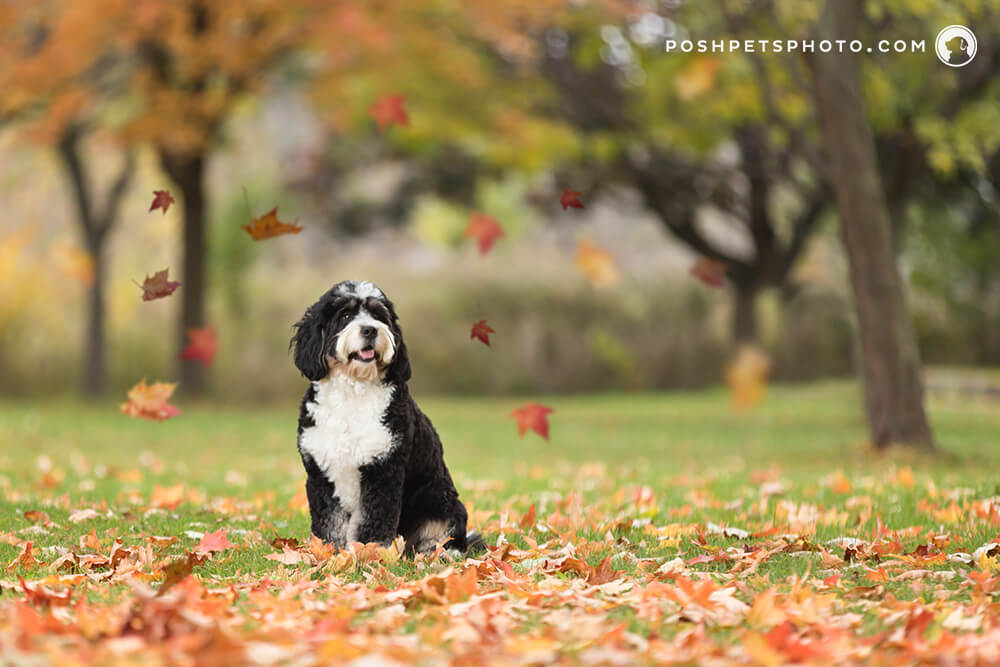 bernedoodle dog in autumn leaves in Southern Ontario, Canada