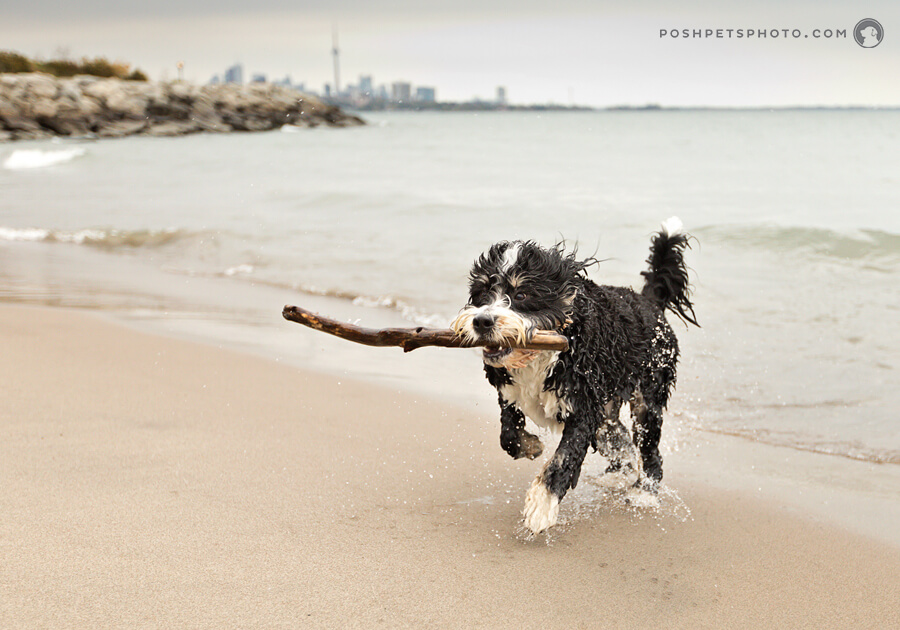 dog running on beach with stick and Toronto CN Tower