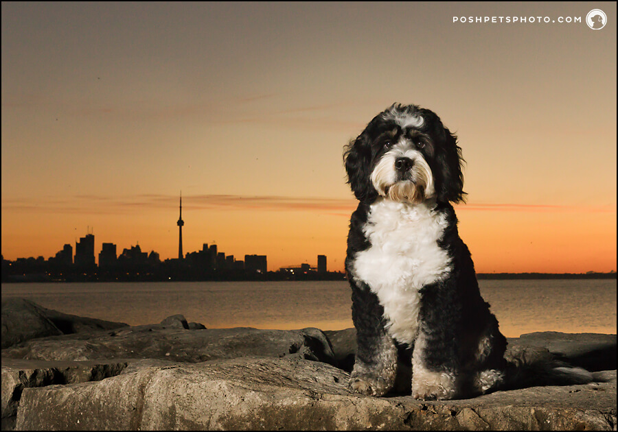 Toronto skyline at sunrise with dog