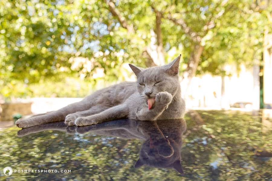 grey cat lounging on car in the shade