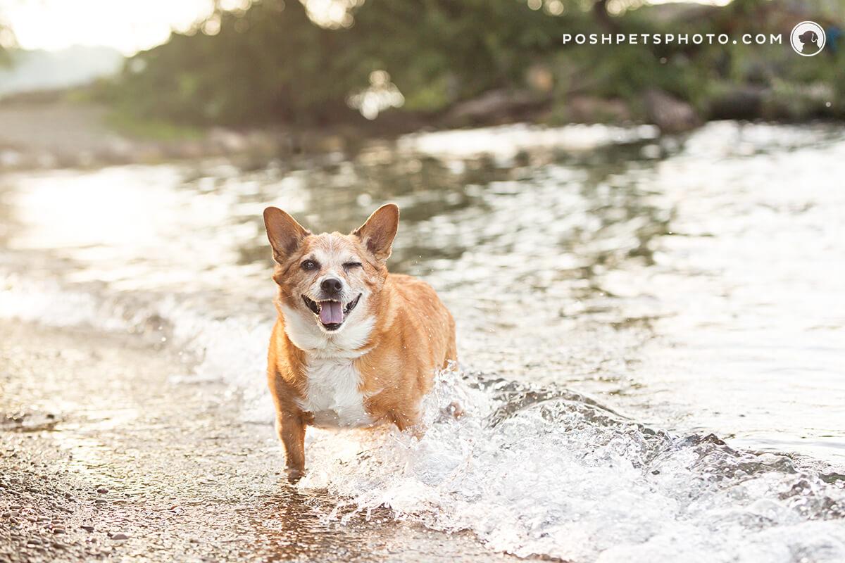 corgi dog playing in the water in Canada