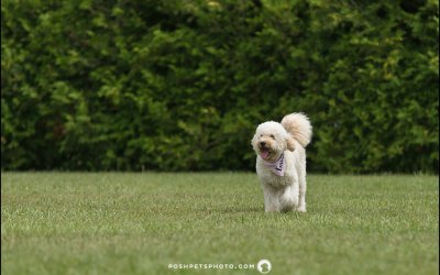 SwissRidge Doodle Romp of 2017 | Toronto Dog Event